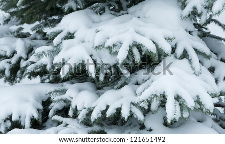 Winter branches of blue spruce covered with fluffy snow #121651492