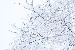 Winter branches of trees in hoarfrost on background snow and white sky