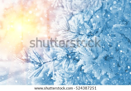 Winter bright background. Branches of pine covered with frost in the sun