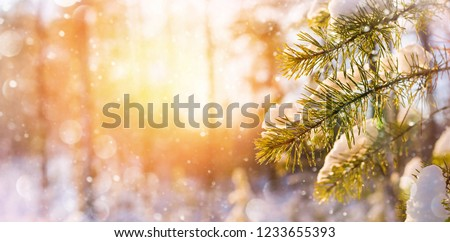 Winter bright background with snowy pine branches in the sun. Natural bright background. #1233655393