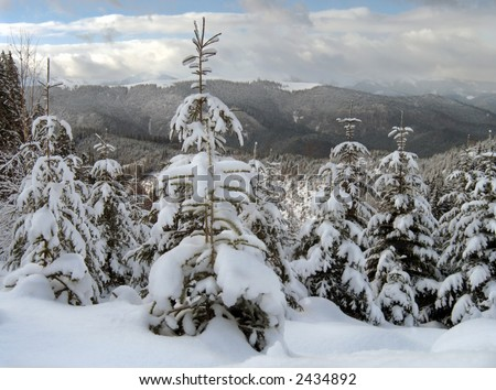 winter calm mountain landscape with snow-covered spruce-trees on a forefront