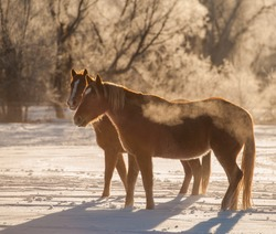 winter chestnut quarter horses  in the snow on a brisk cold winter day  seeing horses breath backlit horizontal format horses winter frost on trees behind