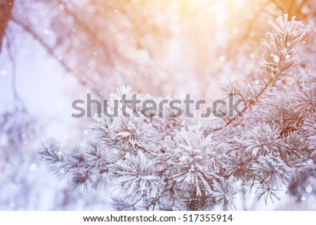 Winter christmas pine tree snow flakes falling. Fir branches covered with frost and snow. Blurred snow flakes winter background with copy space area. Christmas snow covered fir winter branches.