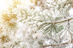 Winter cold background - morning white hoarfrost and snow on pine branch with green needles in the forest in the sunlight. Frozen plants after snowfall close-up, copy space.
