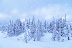 Winter coniferous forest on top of Mount Utua. Snow falling, blue sky and  white snowfall. Nature View in Sheregesh ski resort in Russia.