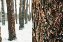 Winter day. The bark of the tree amid a forest of trees, in the snow. Isolated place for text