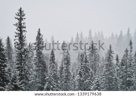 Winter day with stormy snowy weather and poor visability looking into distant wilderness with contours and silhouettes of fir treetops. More similar content is found in my portfolio. Norrland, Sweden. #1339179638