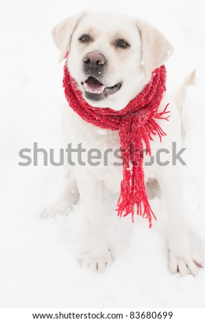 Winter dog portrait - portrait of Labrador Retriever sitting in snow wearing red scarf