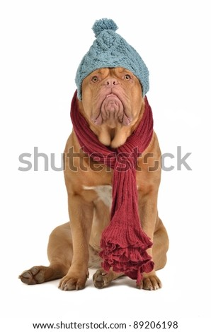 Winter dog with hat and scarf isolated