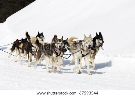 winter dogs - stock photo