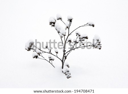 winter. dried plants covered with snow