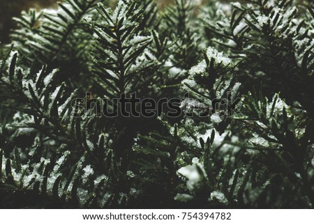 Winter Evergreen Branches Covered in Snow #754394782