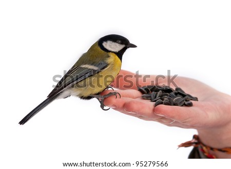 Winter feeding of birds (Great Tit / Parus major)