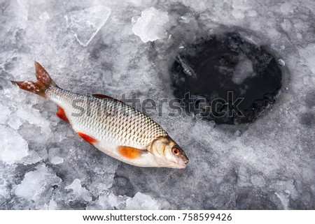 winter fishing, good catch of fish (roach) in winter on ice