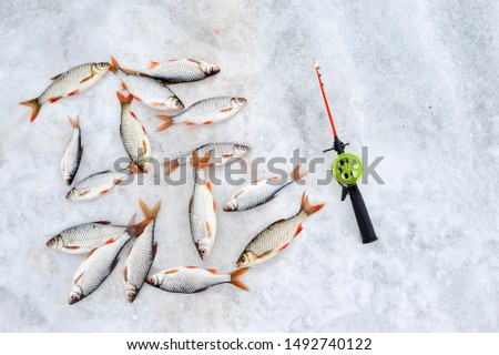 Winter fishing rod and caught fish roach with Rudd lie on the white snow of the lake. Background. Top view, lat lay.