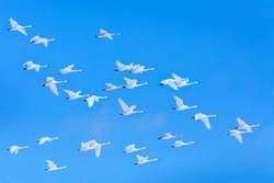 Winter flock flight, group of Whooper Swans, Hokkaido, Japan. Bird in blue sky fly, winter scene with snowflakes.  Wildlife scene from wild nature. Cold winter.