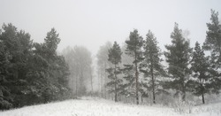 Winter foggy landscape in forest with pines