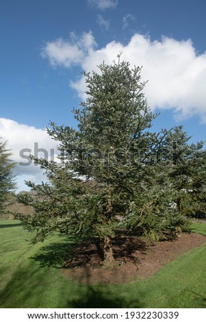 Winter Foliage of a Farge's Fir Tree (Abies fargesii) with a Cloudy Blue Sky Background Growing in a Garden in Rural Devon, England, UK Zdjęcia stock ©