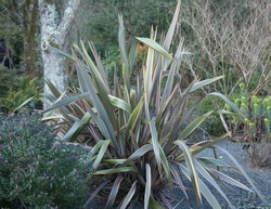 Winter Foliage of a New Zealand Flax Lily (Phormium 'Sundowner') Growing in a Country Cottage Garden in Rural Devon, England, UK