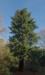 Winter Foliage of an Evergreen Coastal Redwood Tree (Sequoia sempervirens) in a Park in Rural Devon, England, UK