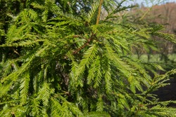 Winter Foliage of an Evergreen Coastal Redwood Tree (Sequoia sempervirens) in a Woodland Garden in Rural Devon, England, UK