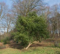 Winter Foliage of an Evergreen Common or English Holly Tree (Ilex aquifolium) on a Hillside in a Woodland Garden in Rural Devon, England, UK