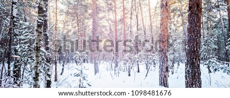 Winter forest frost evening sunset fir tree of pine fir-tree and birch City urban scene vibrant toned picture Shot wide andle