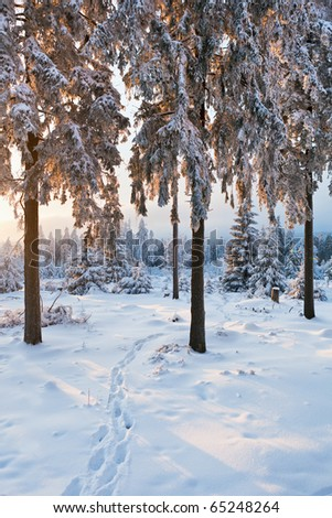 winter forest in Harz mountains