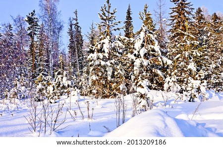 Winter forest in the snow. Winter forest trees. Winter snow forest