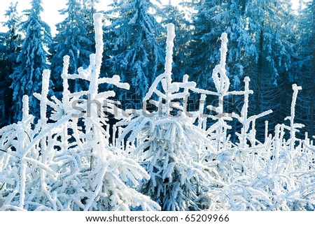 Winter forest trees under snow in cold weather, nature