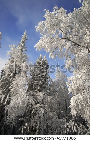 Winter forest with fir and birch branches with snow over sky at Urals, Russia