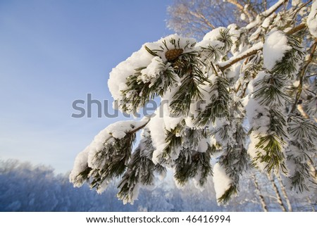 Winter forest with fir branches with snow