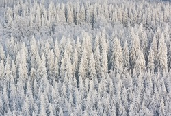 Winter forest with frosty trees, aerial view. Kuopio, Finland