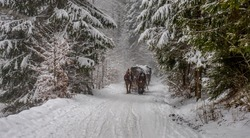 Winter forest with horses pulling the wagon.