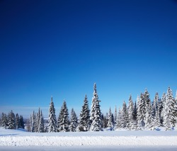 Winter forest with pine trees and snowy field and clear blue sky