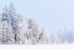 Winter forest with snow and frost in the trees of the taiga