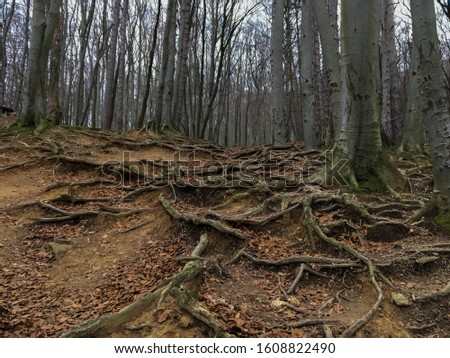 Winter Forrest chilly weather roots over ground leafs on the ground