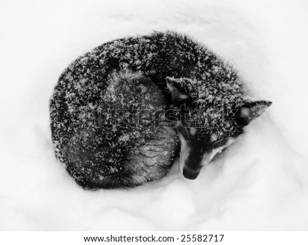 Winter frost in West Siberia. Black dog sleep on a snow. Black and white photo - stock photo
