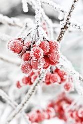 Winter Frozen Viburnum Under Snow. Viburnum In The Snow.