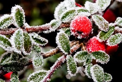 Winter holly berrie. Red holly berries Ilex aquifolium covered with hoar frost,