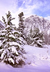 Winter in the Aktru Valley. Tall spruce trees in the middle of snowdrifts against the backdrop of the rocky mountains and the morning blue sky. Gorny Altai, Siberia, Russia