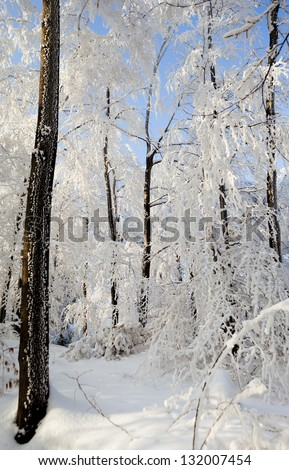 Winter in the woods. Winter landscape. Sunny weather in the cold day.