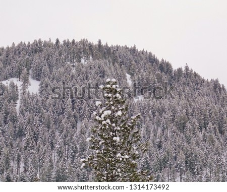 Winter in WA mountains. The top of a snow tipped evergreen tree in foreground stands out in center with a forest of evergreens on a mountain slope in the background almost appearing black and white. #1314173492