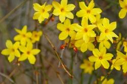 Winter jasmine or Jasminum nudiflorum deciduous shrub blooming with yellow flowers in early spring