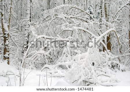 Winter landscape after snow storm, branches bended by snow