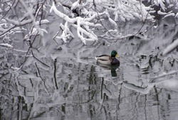 Winter landscape. Duck on the surface of the river among snow-covered trees.