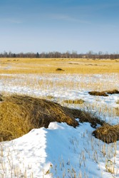 Winter landscape. Focus on the foreground. A snow-covered field of mown wheat, heaps of thrown straw. Bright sunny morning.