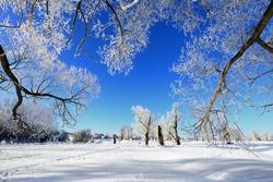 winter landscape frost oaks in sunny frosty morning