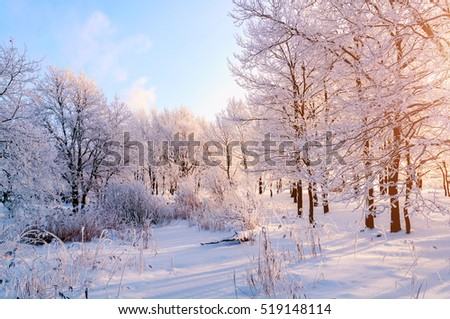 Winter landscape - frosty trees in the forest in the sunny morning. Tranquil landscape of forest nature covered with snow