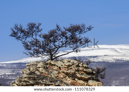 Winter landscape in which center a lonely pine on the rock against mountains